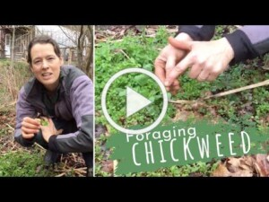 Foraging Chickweed Youtube Video