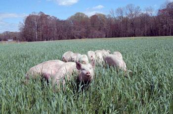 alt-swine