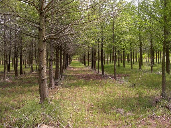bald-cypress-plantation