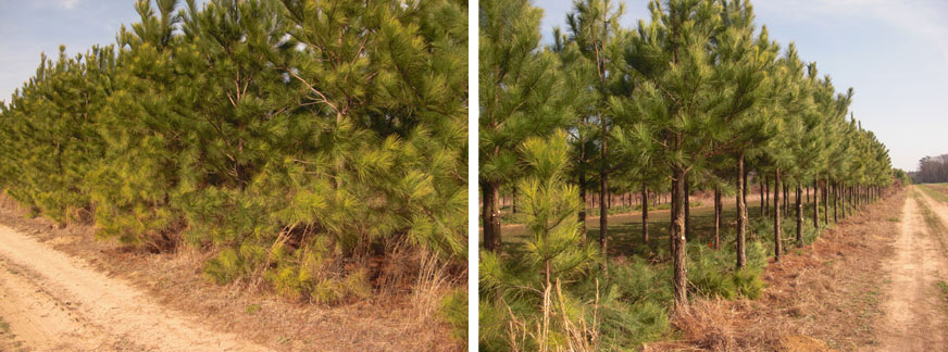 Agroforestry plots before and after pruning.