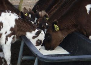 calves-feeding