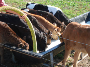 dairy-calves2
