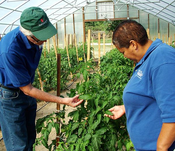 examining-tomatoes
