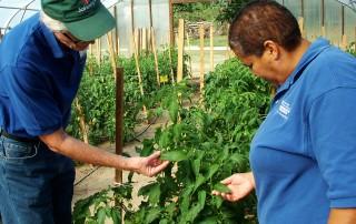 Examining tomatoes