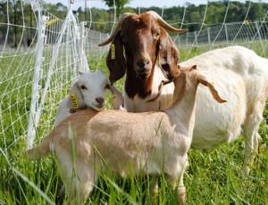 goat-kids