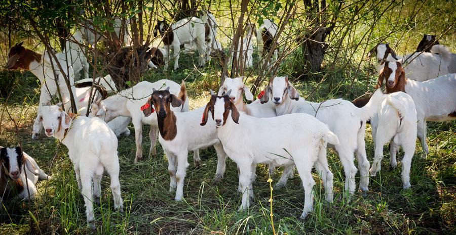 goats-cefs
