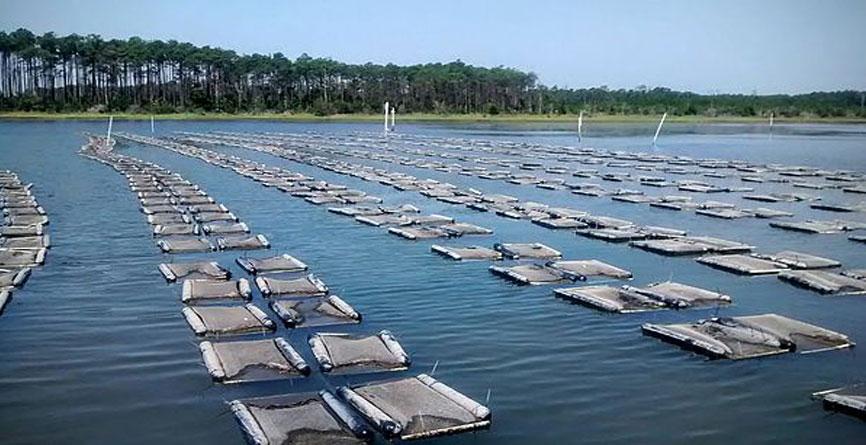 Jarrett bay oysters