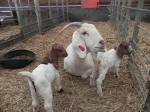 Momma goat with her kids.