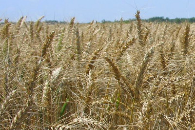 organic-grains-prog2