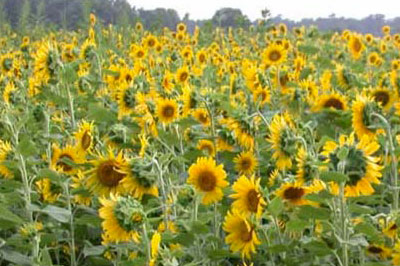 organic-sunflowers