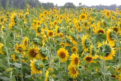 organic-sunflowers