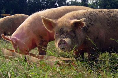 Alternative Swine Unit