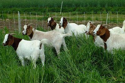 pasture-goats-archive
