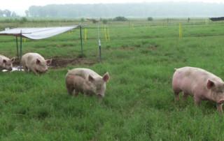 pasture-pig-management