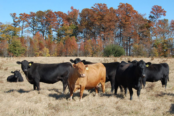 Pastured Beef Production
