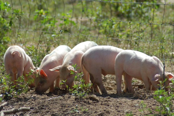 Pastured Pork Production