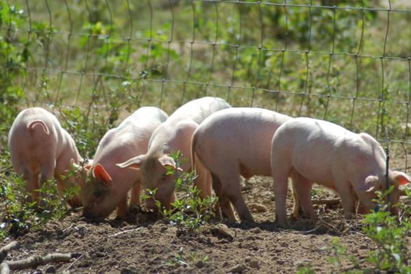 Pastured Pork Production