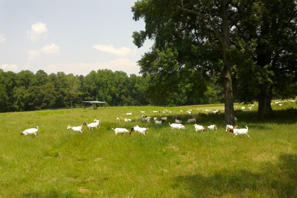 Pastured Small Ruminants Production