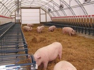 CEFS swine hoop house