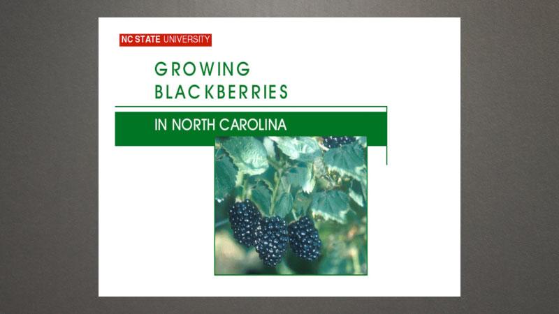 Pruning blackberries
