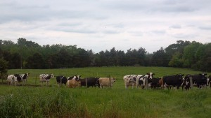 Reedy Fork's cows on pasture. (Photo: Reedy Fork Organic Farm)