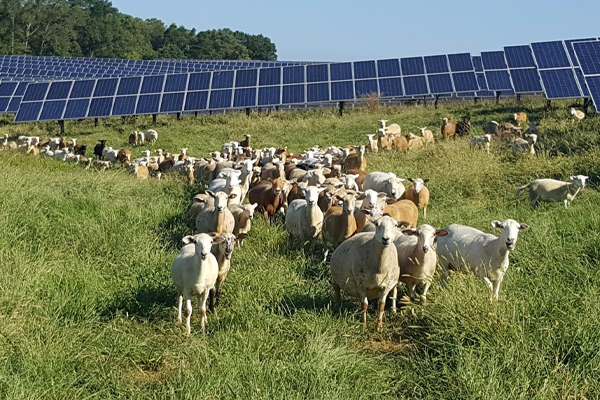 Grazing Sheep in Solar Farms