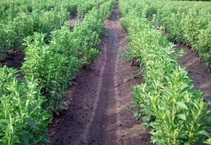 Stevia plants at CEFS
